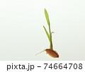 種もみの発芽と成長 74664708