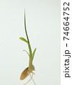 種もみの発芽と成長 74664752