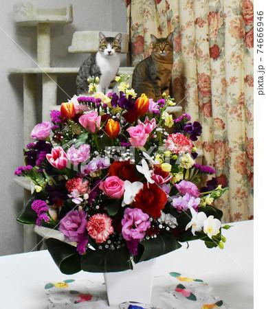生後6か月齢の仔猫 キャットタワーの上から生花アレンジと記念写真 74666946