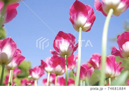 青空に向かって花咲くチューリップ 74681884