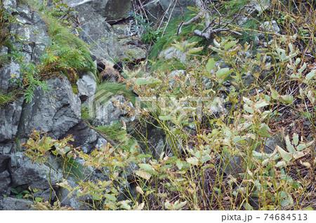 草の中で隠れて眠るヒグマのこども(北海道) 74684513