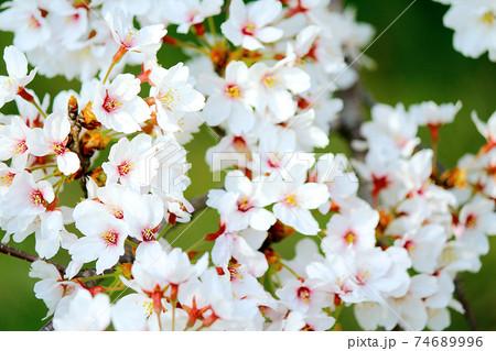 <春イメージ>緑に映える満開の桜 74689996