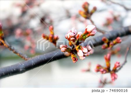 <春イメージ>夕日を浴びる桜の蕾のアップ 74690016