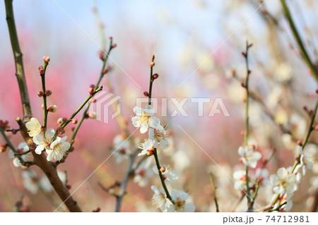 梅の花 冬至 74712981