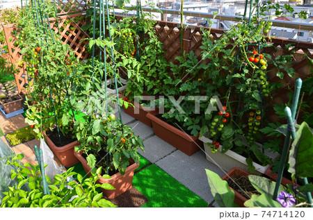 ルーフバルコニーで家庭菜園 自給自足 74714120