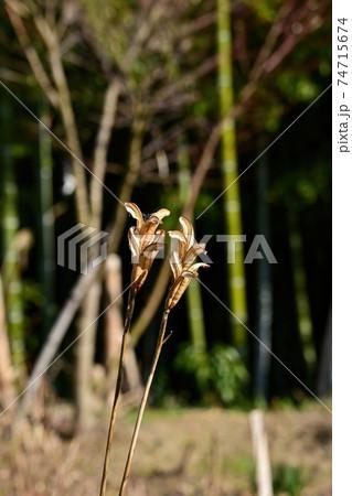 冬の日差しを浴びて輝くテッポウユリの種の散った後の様子 74715674