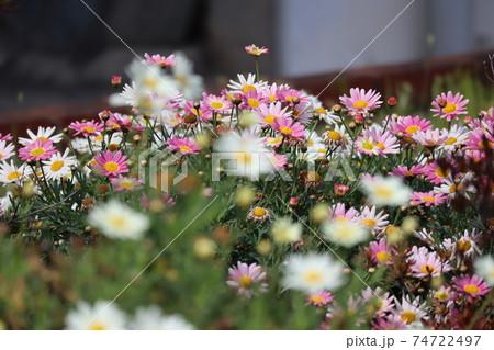 春の街の団地の花壇に咲く白やピンクのマーガレット 74722497
