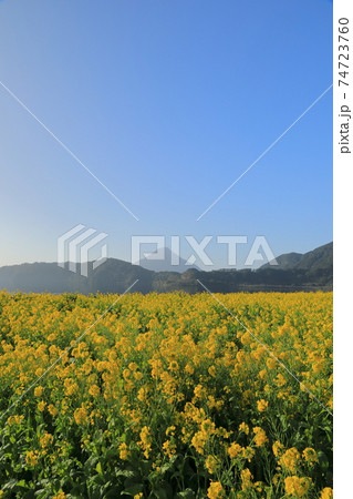 池田湖の満開の菜の花たちと薩摩富士(開聞岳) 74723760