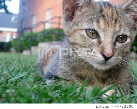 低い目線でとらえた緑の芝生の上に寝転んでいる茶色い子猫の顔のアップ 74723900