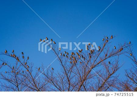 枝先に留まったヒレンジャクの群れ 74725515