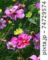 花いっぱいのコスモス畑 74729574