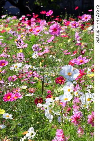 花いっぱいのコスモス畑 74729575