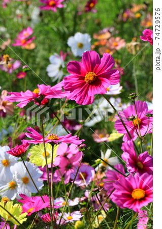 花いっぱいのコスモス畑 74729576