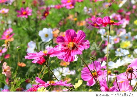 花いっぱいのコスモス畑 74729577