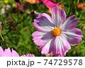 桜花のようなコスモス 74729578