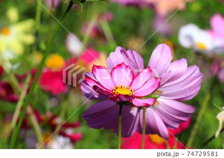 花いっぱいコスモス 74729581