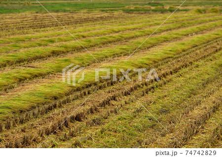 雨上がりの刈り立ての実りの秋 稲穂 74742829