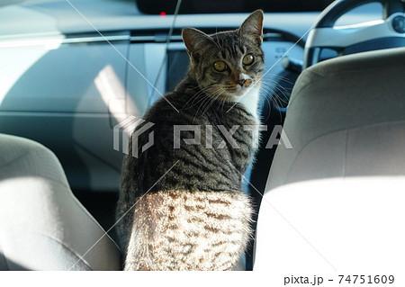 美味しい物はないか物色中を見つかり固まるキジトラ白の若い野良猫のオス 74751609
