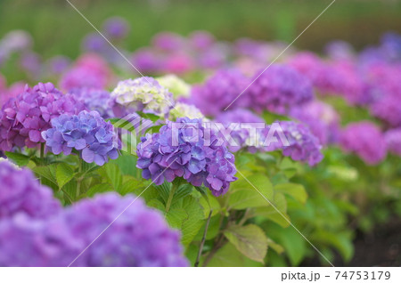 二子玉川公園の紫陽花(背景ぼけ 大) 74753179