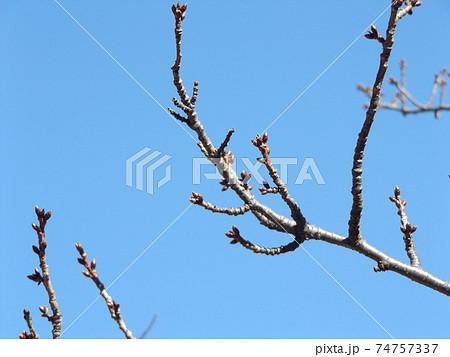未だ未だ硬い冬芽の三陽メデアフラワーミュウジアムの河津桜 74757337