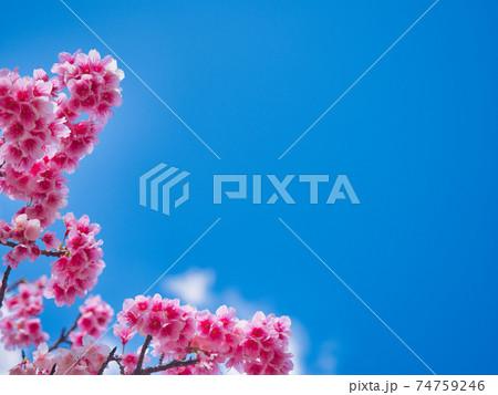 青空の下で美しいピンク色に咲く沖縄の桜 74759246