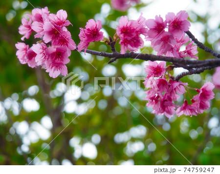 綺麗なピンク色に咲く沖縄の桜 74759247