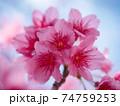 綺麗なピンク色に咲く沖縄の桜 74759253