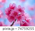 綺麗なピンク色に咲く沖縄の桜 74759255