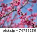暖かい陽射しの中で綺麗なピンク色に咲く沖縄の桜 74759256