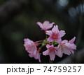 綺麗なピンク色に咲く沖縄の桜 74759257