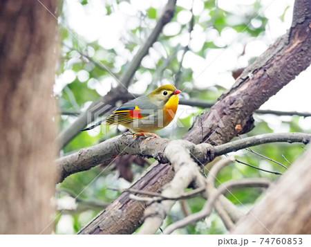 木の枝にとまるカラフルな野鳥ソウシチョウ 74760853