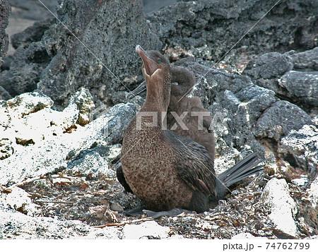 ガラパゴス諸島の海岸の岩場で子育てするガラパゴスコバネウ 74762799