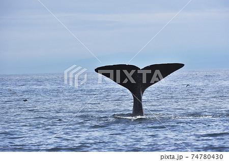潜水を始めるマッコウクジラの尾びれ(北海道・羅臼沖) 74780430