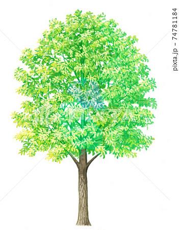 コナラのスケッチ 樹木のイラスト 新緑 74781184