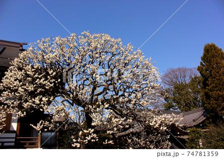 早春の青空に映える満開の梅の花(3) 74781359