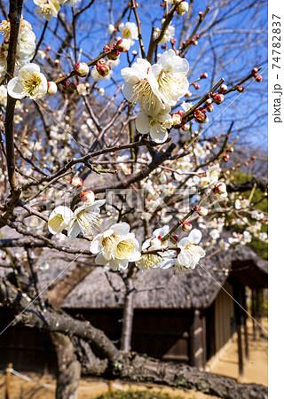 町田市の薬師池の重要文化財の古民家の庭に咲く梅の花 74782837