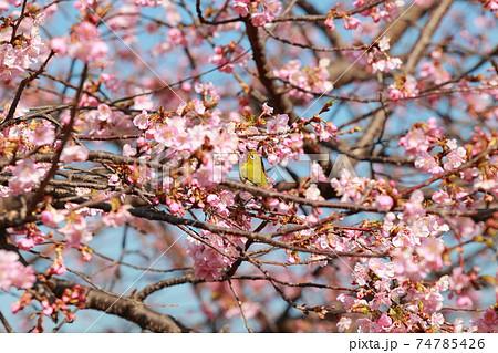 桜とメジロ 74785426