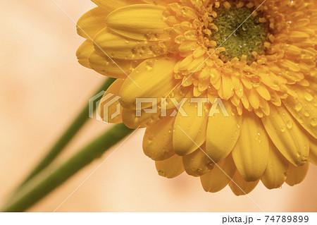 黄色のガーベラは究極の愛、飾ることのない自然な愛 74789899