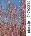 花 フラワー お花 74792239