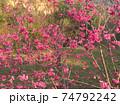 桜 さくら サクラ 74792242