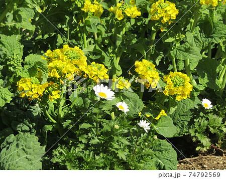 満開の黄色い寒咲き花菜 74792569