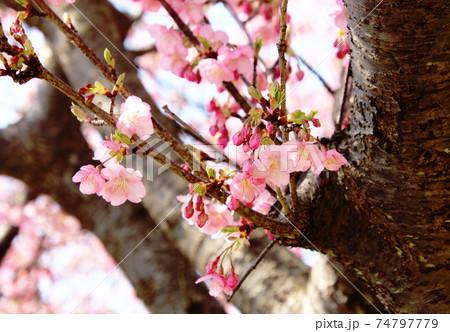 2月の小春日和に咲き始めた河津桜 74797779