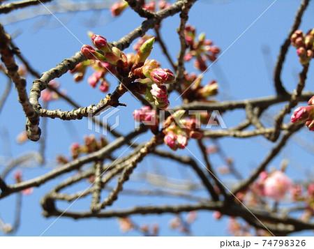 もう直ぐ咲く稲毛海岸駅前の河津桜の蕾 74798326