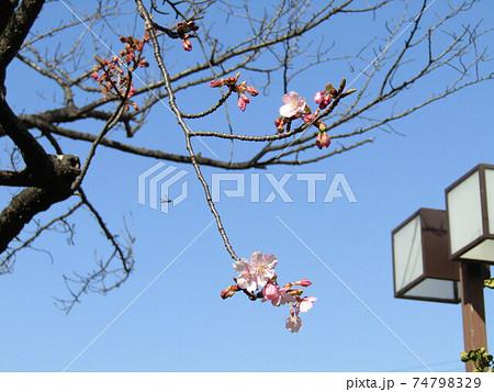 咲き始めた稲毛海岸駅前の河津桜の花 74798329