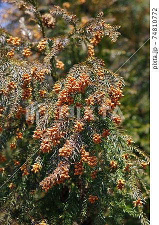 杉の雄花(花粉症イメージ) 74810772