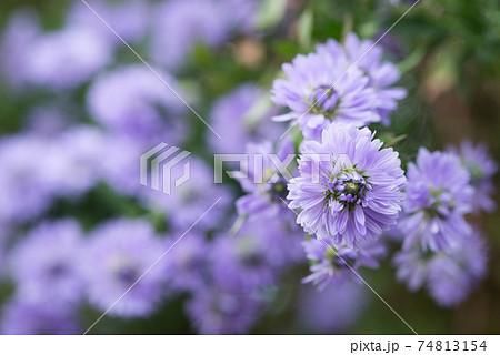 紫のクジャクソウの花のアップ 74813154