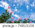 雲の浮かぶ青空の下のピンクのバラの花 74813156