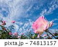 雲の浮かぶ青空の下のピンクのバラの花のアップ 74813157