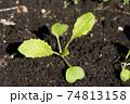 畑の野沢菜の芽 74813158