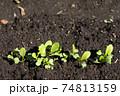 畑のチンゲンサイの芽 74813159